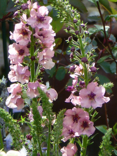 Verbascum ... Southern Charm ...