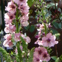 Verbascum_southern_charm