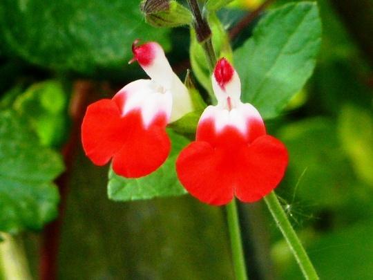 Salvia ... Hot lips  ...