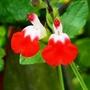 Salvia_.hotlips_.