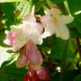 Weigelia_strawberries_n_cream
