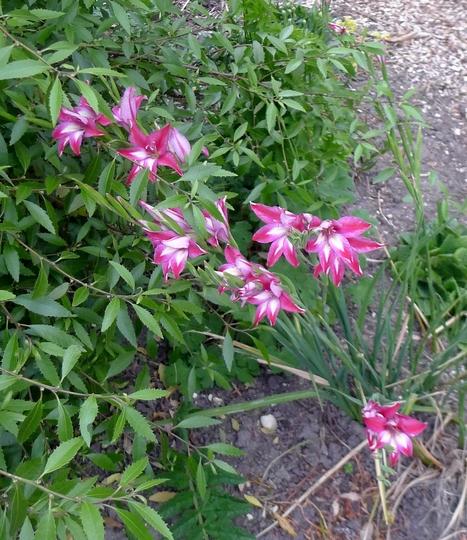 Gladiolus x colvillei - 2015 (Gladiolus x colvillei)