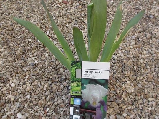 Iris germanica 'Arpege' (Iris germanica)