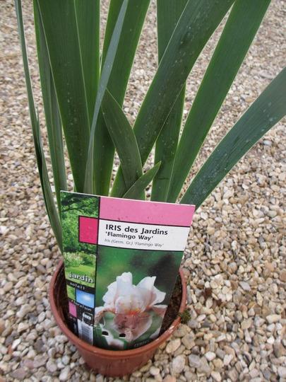 Iris germanica 'Flamingo Way' (Iris germanica (Orris))