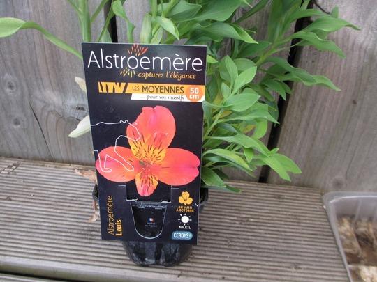 Alstromeria 'Louis' (Alstroemeria)
