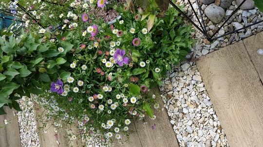 Path and plants....Erigeron Karvinskianus.. (Erigeron acer (Blue Fleabane))