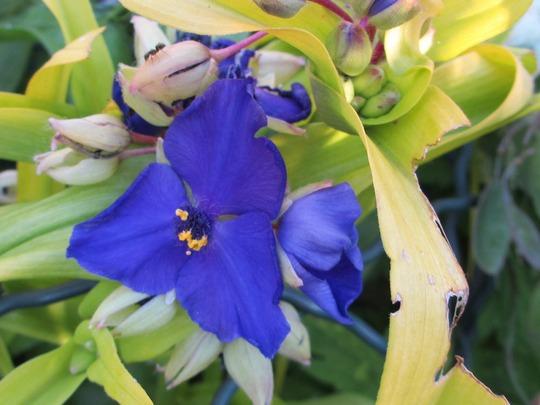 Tradescantia 'Sweet Kate' (Tradescantia virginiana (Spiderwort))