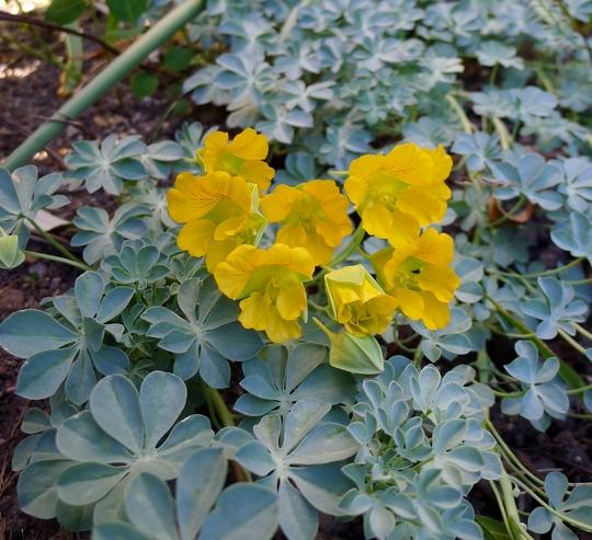 Tropaeolum polyphyllum - 2015 (Tropaeolum polyphyllum)
