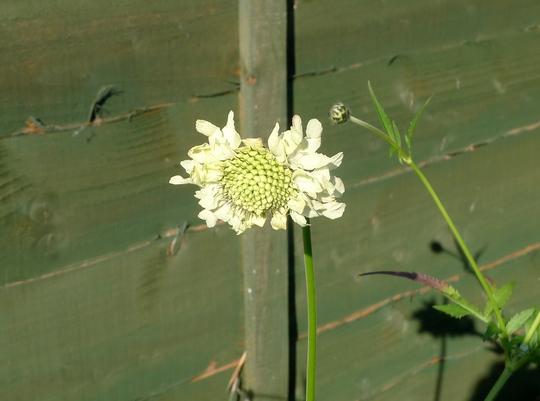 Cephalaria gigantea - 2015 (Cephalaria gigantea)
