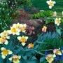 Spring Garden Colorblend tulips