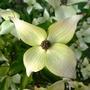 Cornus_kousa_flower_.