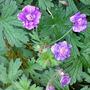 DSC00054_edited.jpg (Geranium himalayense (Hardy geranium))
