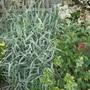 P1010512stripy_grass