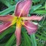 Hemerocallis (Simbad Dad's unknown) (Hemerocallis)
