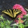 The Tiger Swallowtail butterfly (Papilio glaucus)