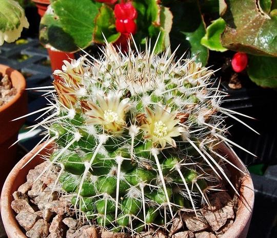 For my records - Mammillaria karwinskiana