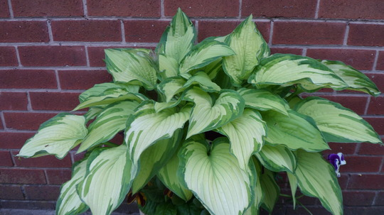 "Hosta  ""Fortunei"""