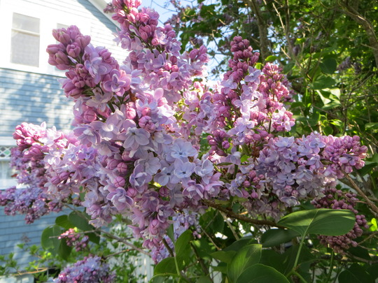 lilac (Syringa vulgaris (Common lilac))