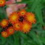 Hieracium aurantiacum....