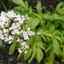 Valeriana phu 'Aurea' in the Golden Border. (Valeriana phu 'Aurea')