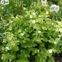 Geranium macrorrhizum 'Mount Olympus White' AGM for my records. (Geranium macrorrhizum (Cranesbill))
