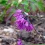 Allium_insubricum_close_up_2015
