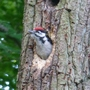 Fledgling Woodpecker