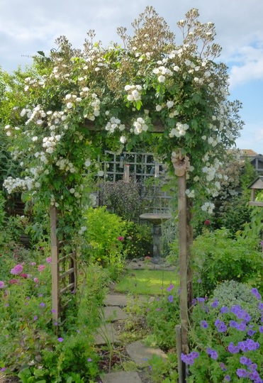 'Rambling Rector' rose
