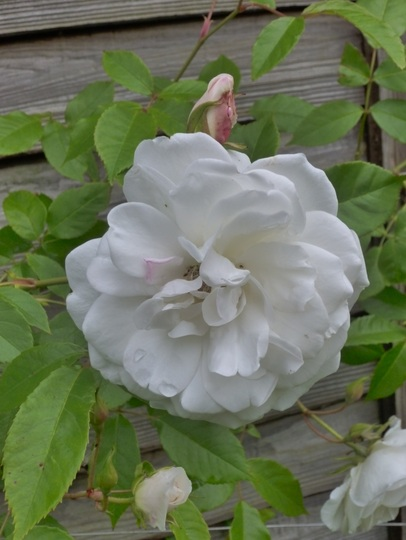 Close up of white climbing rose