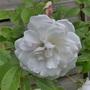 P1010495close_up_white_rose