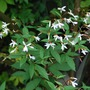 Gillenia trifoliata.... (Gillenia trifoliata (American Ipecac))