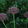 Alliums Atrourpureum... (Allium atropurpureum (Purple-flowered onion))