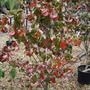 """Circus canadensis """"Forest Pansy"""" in 2010 (Cercis canadensis """"Forest Pansy"""")"""