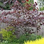 "Cercis canadensis ""Forest Pansy"" in 2011 (Cercis canadensis ""Forest Pansy"")"