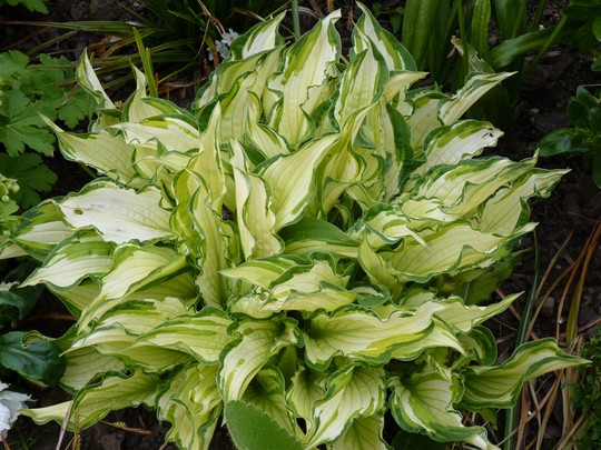 Grandpa's Hosta - still nameless. (Hosta fortunei (Plantain lily))