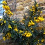 Sophora microphylla Sun King 'Hilsop'  (Sophora microphylla Sun King 'Hilsop')