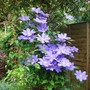 Clematis H.F.Young