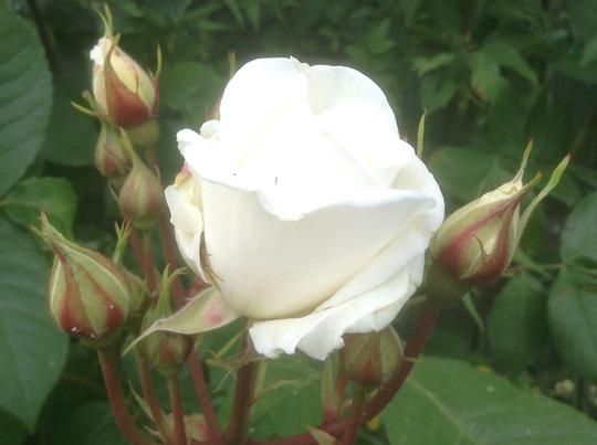 Designer Sunset Standard Rose ??!!