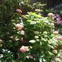 Hydrangea_planted_september_2014_003