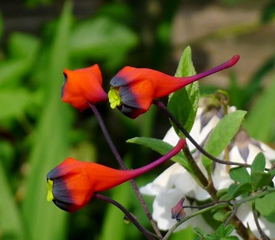 Tropaeolum tricolor - 2015 (Tropaeolum tricolor)