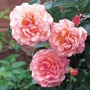 Climbing_rose_compassion