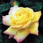 Climbing_rose_peace