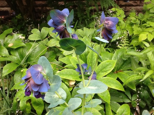 Cerinthe major (Cerinthe major (Honeywort))