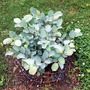 Fothergilla x intermedia 'Blue Shadow' (Fothergilla major (Fothergilla))