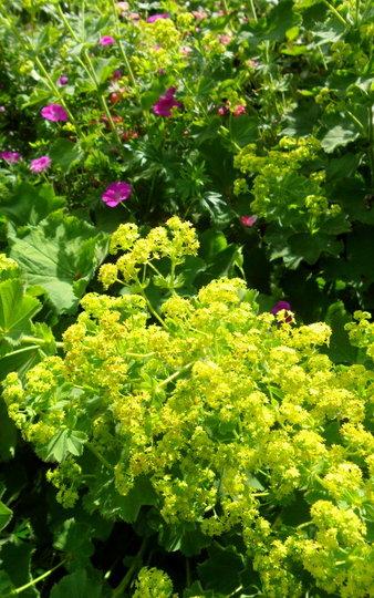 Alchemilla & Geranium  (Alchemilla mollis)