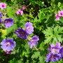 Geranium 'Patricia' & x Magnificum (Geranium 'Patricia')