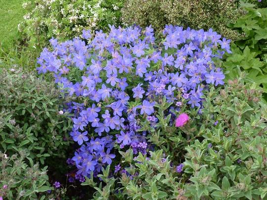 Geranium 'Johnson's Blue' (Geranium)