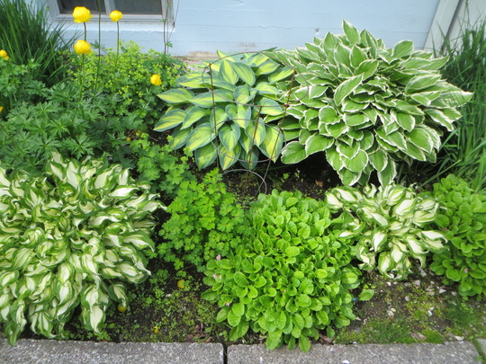 Hosta variety in my shade garden (Hosta undulata)