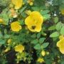 Hypericum, bees' favourite today. (Hypericum)