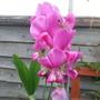 Perennial Sweetpea